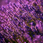 Lavender Benefits: 7 Healing and Soothing Uses