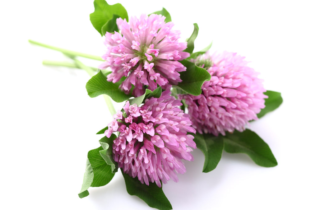 5+ Powerful Health Benefits of Red Clover