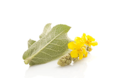 Benefits of Mullein: Respiratory Support & More