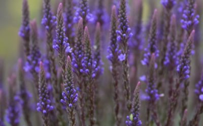 Benefits of Blue Vervain: A Versatile Native Herb