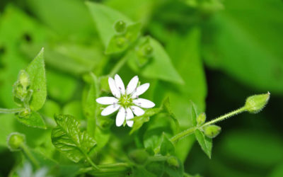 Benefits of Chickweed for Your Whole Body
