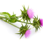 Blessed Thistle for Breastfeeding + Other Benefits