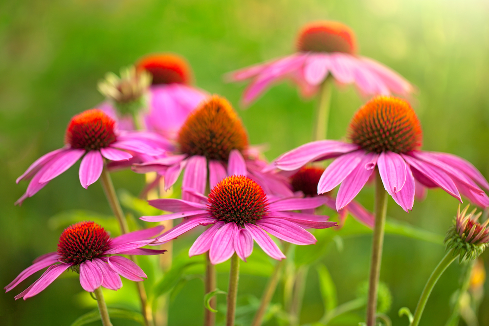 Top Benefits of Echinacea for Immunity & More